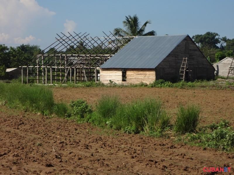 La demora en el pago de los seguros afecta la recuperación de casas para el secado de la hoja (Foto: Osniel Carmona)